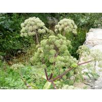 Buy cheap angelica sinensis extract chinese angelica extract--1% Ligustilide, 10:1 from wholesalers