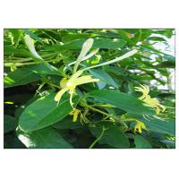 Buy cheap Anti Virus Honeysuckle Flower Extract , Lonicera Japonica Flower Extract CAS 327 97 9 product