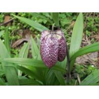 China Organic Sichuan fritillary bulb Tendril-leaved fritillary bulb Fritillaria cirrhosa Don Chuan bei mu for sale