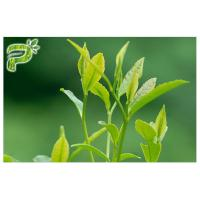 Buy cheap Green Tea Plant Extract Powder Preventing Radical Symptoms Polyphenols 95% UV from wholesalers