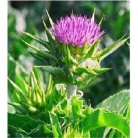 Buy cheap Milk Thistle Extract ,Silybum marianum , Ginseng Root Extract ,plant extracts,Chinese herb medicin product