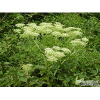 Buy cheap Angelica Extract powder/angelica sinensis extract/ Dong Quai Powder from wholesalers