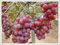 Buy cheap Red Globe Grape (JNFT-030) product