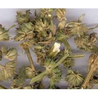 Leonurus japonicus Houtt.dried whole plant,herb medicine,Yi mu cao for sale