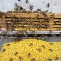 21kg/Carton Natural Pure Bee Pollen Bee Product local bee pollen for sale