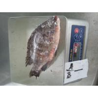 Frozen Tilapia Whole Round Size 100-200