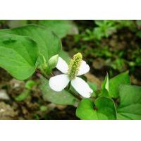 Buy cheap Skin Conditioner Natural Cosmetic Ingredients Houttuyniae Cordata Thund Extract product