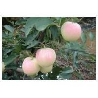 Buy cheap Gala Apple (JNFT-029) from wholesalers