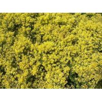 Buy cheap Ilex crenata 'Golden Gem' product