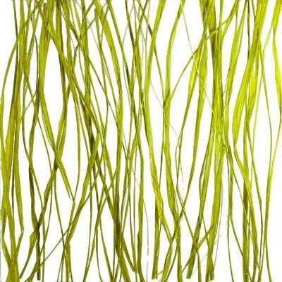 Quality Natural Plant seaweed for sale